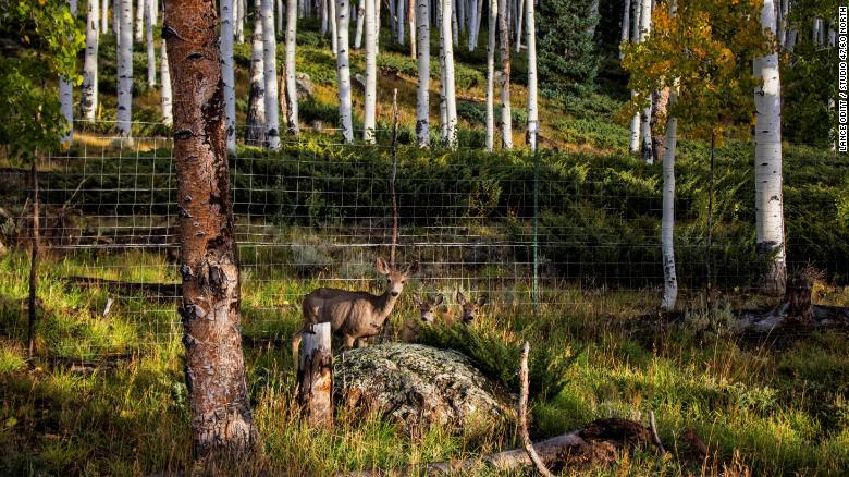 Grazing species like the mule deer are thought to be degrading the Pando aspen system.