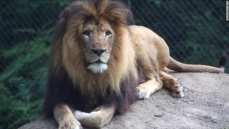 lioness kills the father of her 3 cubs at the indianapolis zoo this