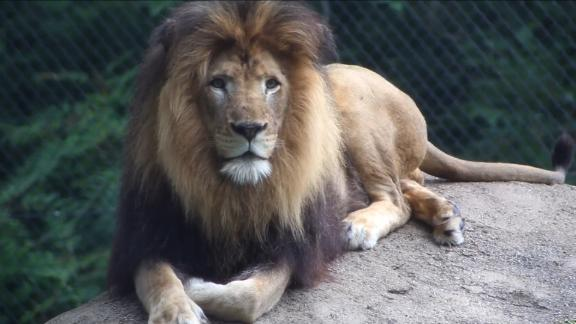 The Indianapolis Zoo is sad to announce that its 10-year-old adult male lion, Nyack died in the outdoor yard Monday morningbefore the Zoo opened to the public. The male died as the result of injuries inflicted by an adult female lion. When animal care staff heard an unusual amount of roaring from the outdoor lion yard they responded and observed one of the adult female lions, Zuri, being aggressive with Nyack. A younger female lion, their 3-year-old daughter Sukari, was also in the yard at the time of the incident. Zoo personnel made every effort to separate the lions but Zuri held Nyack by the neck until he stopped moving. The veterinary staff completed a necropsy (animal version of an autopsy) and confirmed that Nyack died of suffocation from injuries to the neck.   The two lions were part of the Species Survival Plan (SSP) which oversees population management of select species within Association of Zoos and Aquariums (AZA) member institutions and enhances species conservation in the wild. As a part of the SSP, Nyack was on loan from the San Diego Zoo and in 2015, Zuri and Nyack produced a litter of three cubs. The two lions have been housed together for eight years. They were compatible with no outward indication that an event like this would occur.  Detailed daily logs maintained by the animal care staff did not report any unusual aggression, injuries or wounds between Zuri and Nyack prior to Monday