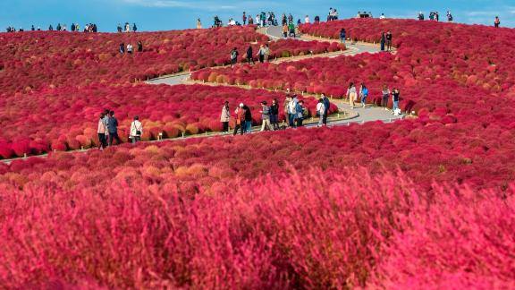 Katsuta, Japan: Visitors wander through a field of bright red kochias (summer cypress) at Hitachi Seaside Park in Katsuta, east of Tokyo. In early to mid-October,  these kochias turn from green to red and become a photographer