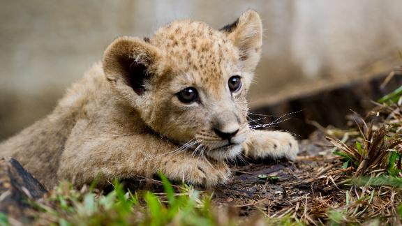 French police were alerted to the existence of the cub through videos circulating on social media. (File photo)