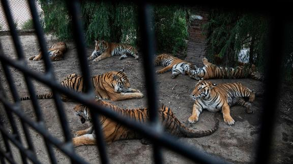 Siberian tigers are seen lounging waiting to be fed outside a tourist bus at the Heilongjiang Siberian Tiger Park on August 16, 2017 in northern China.