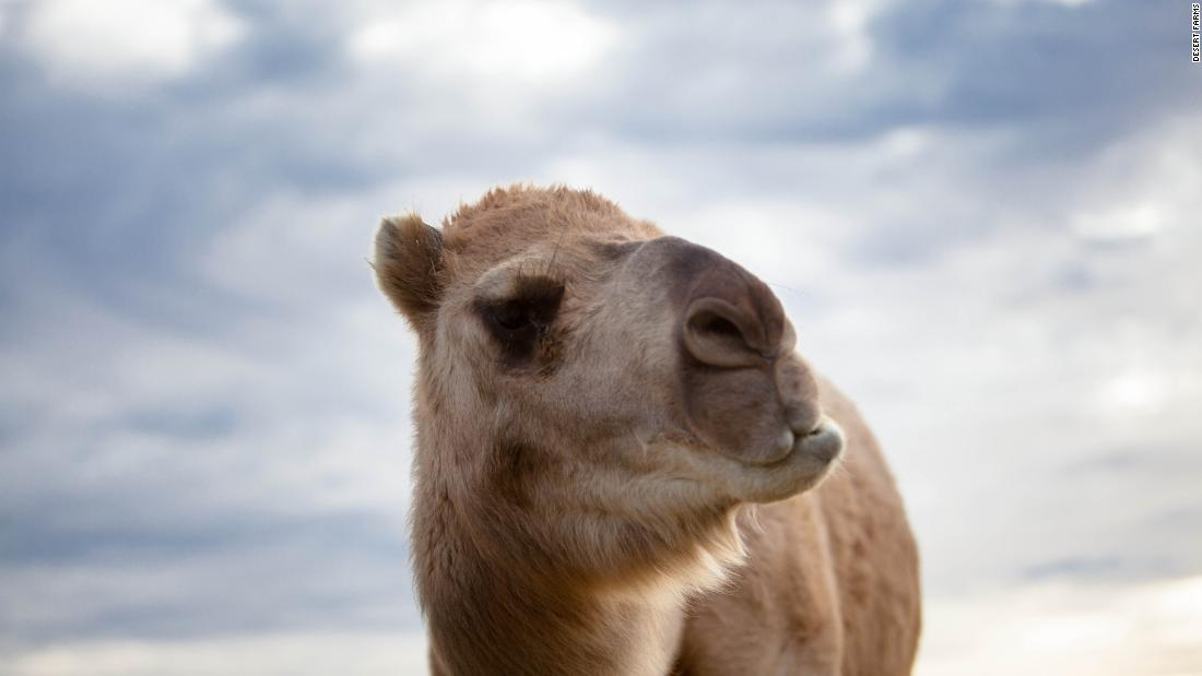 e074bce807 Camel milk contains different proteins to cow milk and is less likely to  trigger an allergic