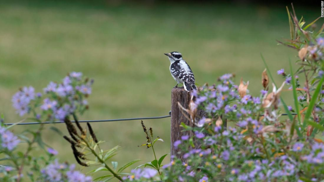 A downy woodpecker in New York City's Brooklyn Bridge Park during a guided bird walk on October 6, 2018.