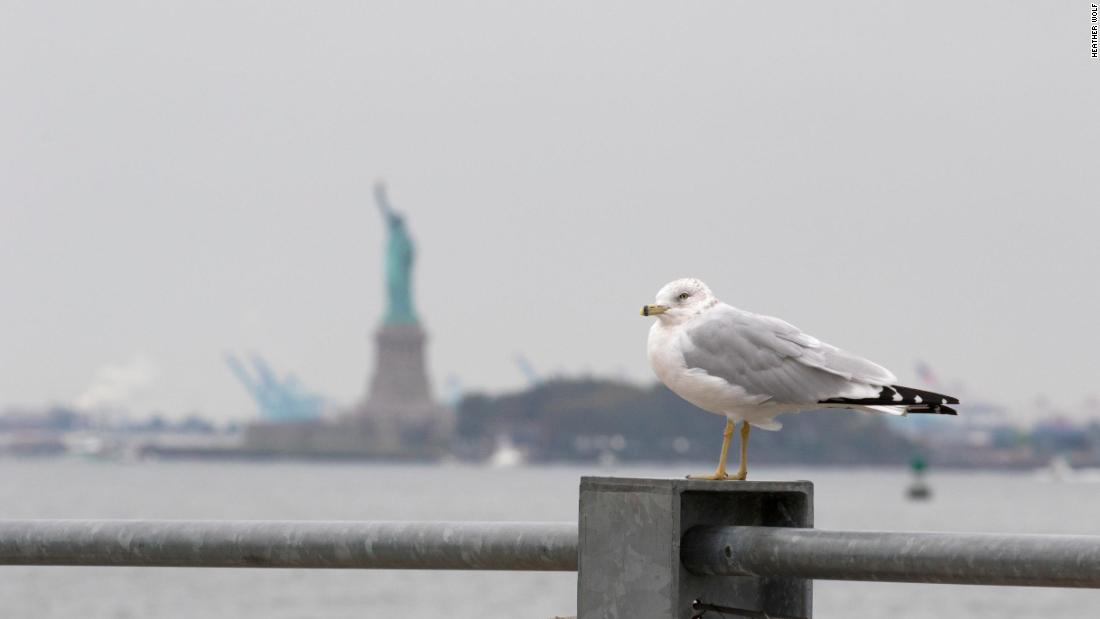 A ring-billed gull sits with the Statue of Liberty in the background at Brooklyn Bridge Park on October 6, 2018.