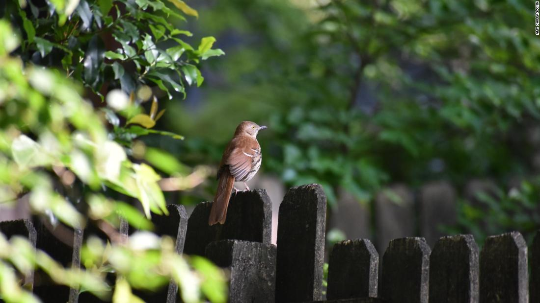 A brown thrasher, the state bird of Georgia, perched on an Atlanta backyard fence on April 27, 2017.