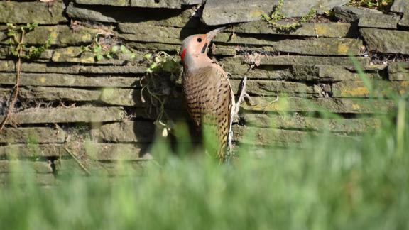 This striking woodpecker called a northern flicker can be observed all over the US during all seasons of the year.