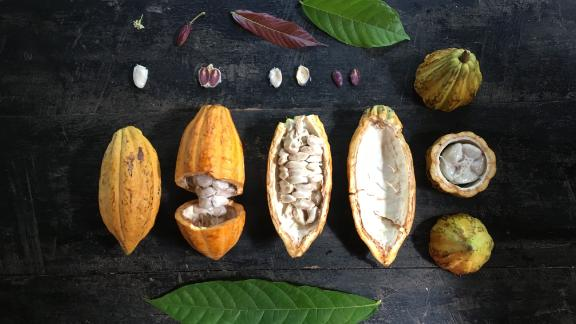 Cacao fruit from the farm.
