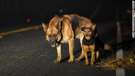 Dogs roam burned out neighborhoods as the Camp fire tears through Paradise, California.