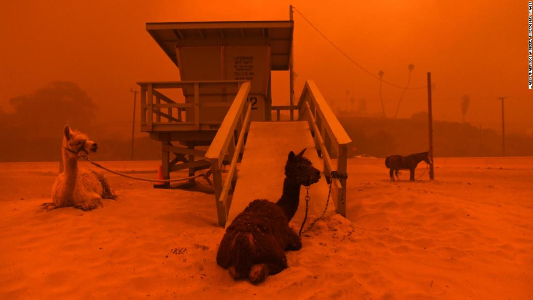 Llamas are tied to a lifeguard stand on a Malibu beach on November 9.