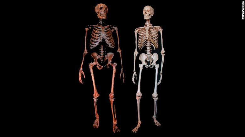 Neanderthal (left) and modern human skeleton.