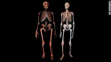 Neanderthal (left) and modern human skeleton.