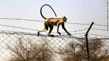 A file image of monkey in India, where large numbers of primates have been reported in some cities.
