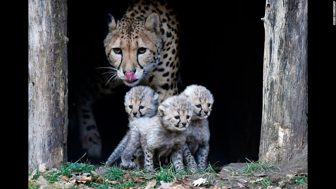 A cheetah watches over her three cubs at a zoo in Muenster, Germany, on Friday, November 9. The cubs, born in October, were exploring their enclosure for the first time.