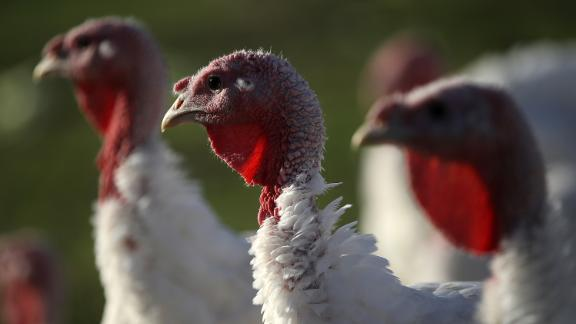 PETALUMA, CA - NOVEMBER 21:  Broad Breasted White turkeys stand in their enclosure at Tara Firma Farms on November 21, 2017 in Petaluma, California. An estimated forty six million turkeys are cooked and eaten during Thanksgiving meals in the United States.  (Photo by Justin Sullivan/Getty Images)