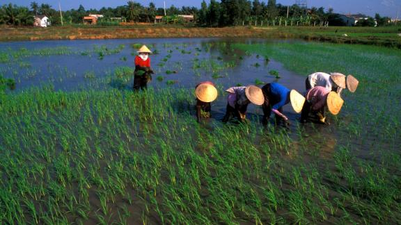 """Many local farmers are engaged in rice production, particularly in the Mekong Delta in Vietnam, pictured here, also known as """"Asia"""