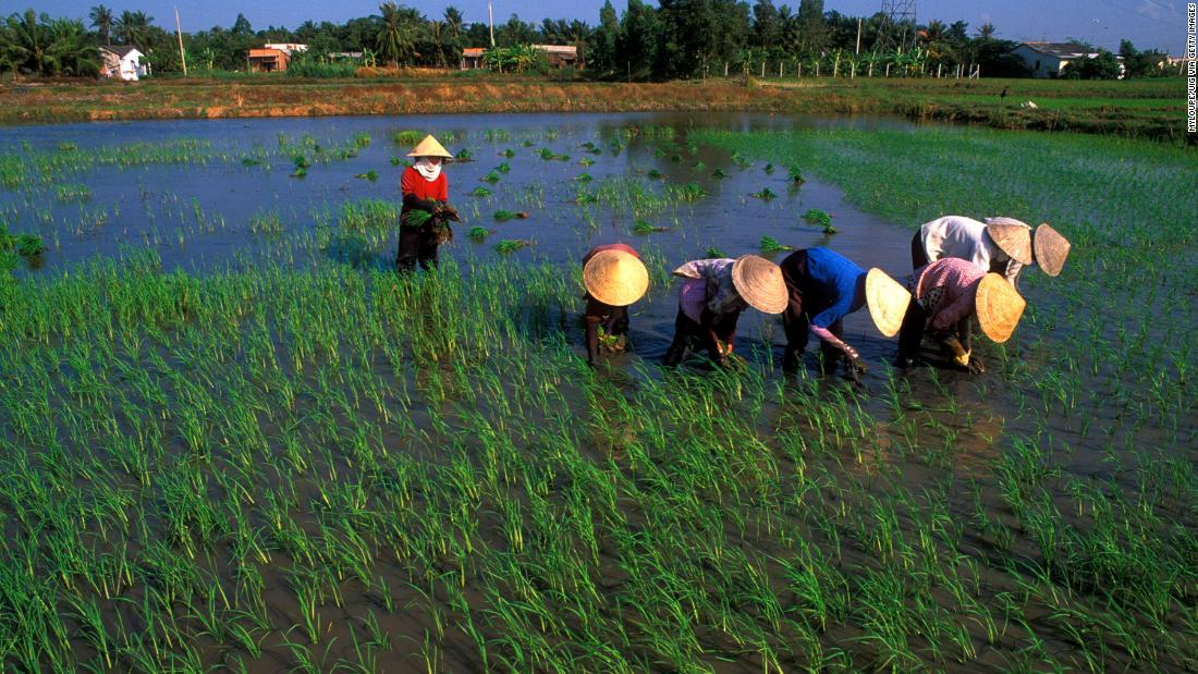 "Many local farmers are engaged in rice production, particularly in the Mekong Delta in Vietnam, pictured here, also known as ""Asia's rice bowl."" <br /><br />"