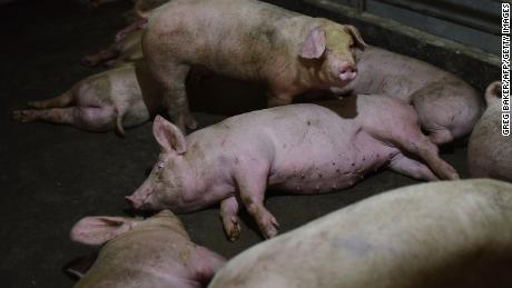 Beijing issues rare public warning on 'serious' swine fever crisis
