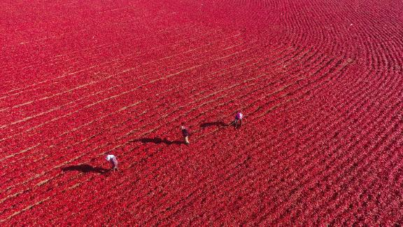 Xinjiang, China: Red peppers are aired following the fall harvest in northwest China