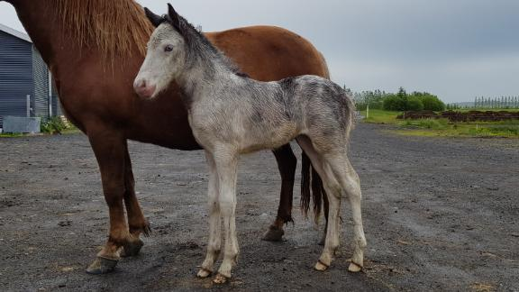 """When he was born five years ago, his owners thought there'd been some sort of mix up during breeding. """"We thought it was a mix up, that the mother had maybe gone to the wrong stallion,"""" Ellert's owner Baldur Eiðsson said. """"So we put him to DNA testing and Sær was definitely his father and his mother was Kengála."""""""