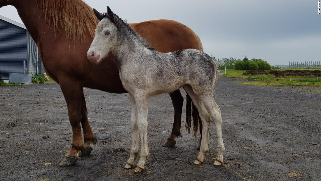 "When he was born five years ago, his owners thought there'd been some sort of mix up during breeding. ""We thought it was a mix up, that the mother had maybe gone to the wrong stallion,"" Ellert's owner Baldur Eiðsson said. ""So we put him to DNA testing and Sær was definitely his father and his mother was Kengála."""