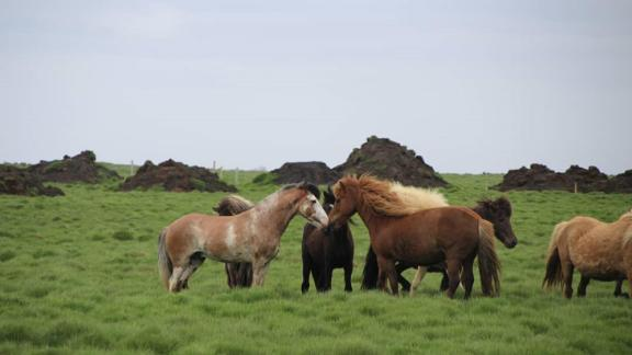 Ellert has already produced four healthy offspring with the same color pattern. His owners hope to spread the color and establish it throughout the Icelandic horse breed.
