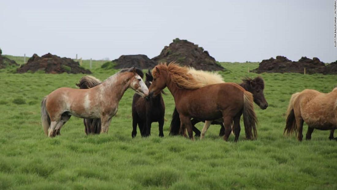 Iceland New Coat Color Found In Icelandic Horse Cnn