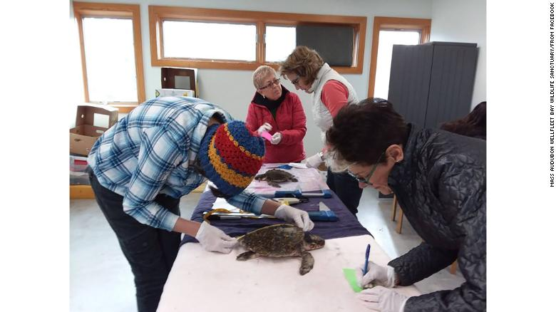 Volunteers process the incoming turtles this week at Mass Audubon's Wellfleet Bay Wildlife Sanctuary.