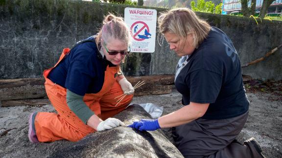 Dyanna Lambourn of the Washington Department of Fish and Wildlife Marine Mammal Investigations unit (left) and Casey McLean of SR3 examine the entry wound from a bullet on a dead California sea lion in West Seattle.