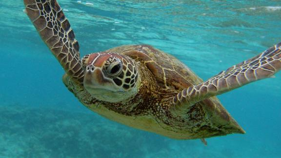 Plastic was found in the gut of every single turtle examined in a new study spanning the Atlantic, Pacific and the Mediterranean.