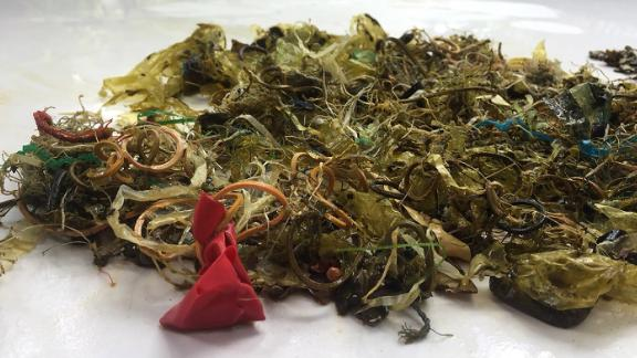 Debris removed from the stomach of a green turtle, including plastic, rubber bands, and pieces of balloon