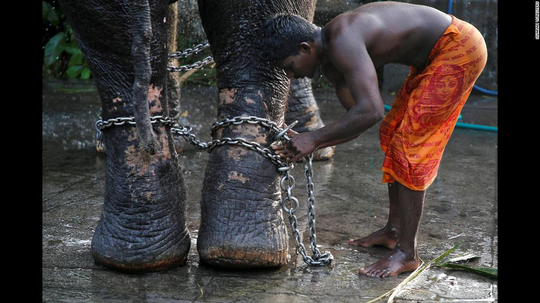 A mahout ties a chain around the legs of his elephant after bathing it in Kochi, India, on Wednesday, December 5.