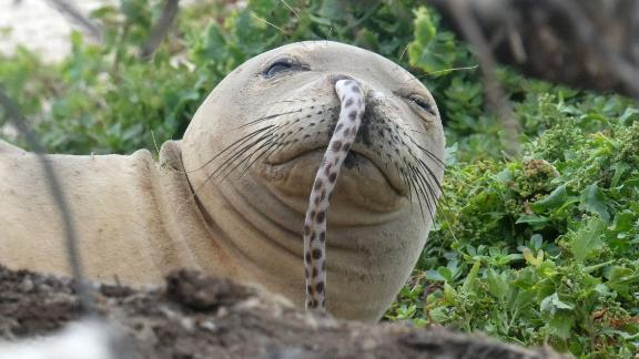 An endangered Hawaiian monk seal was spotted with an eel lodged up its nostril in the Northwestern Hawaiian Islands.