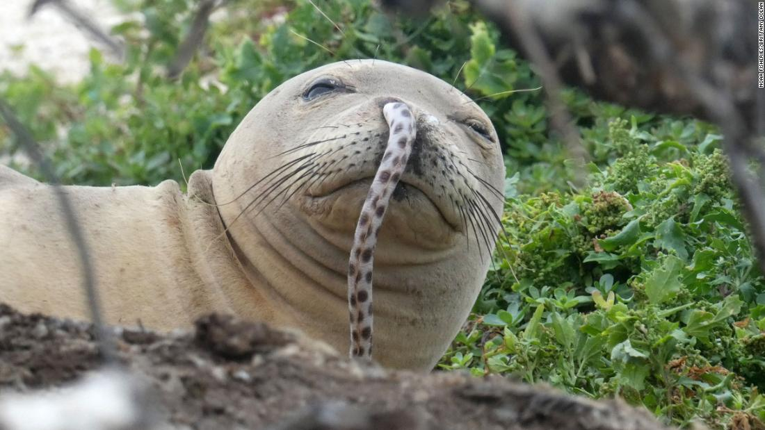 What's going on with Hawaiian seals? Nobody nose