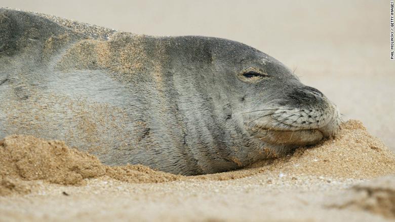 Descubren a una foca con una anguila sobresaliendo por la nariz