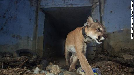 "P-64, an approximately 4-year-old mountain lion who went by the name ""Culvert Cat,"" was found after the Woolsey Fire was 100 percent contained."