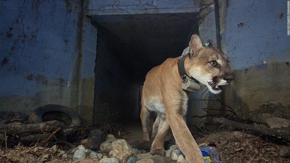 León de montaña conocido por cruzar autopistas encontrado muerto después de Woolsey Fire en California
