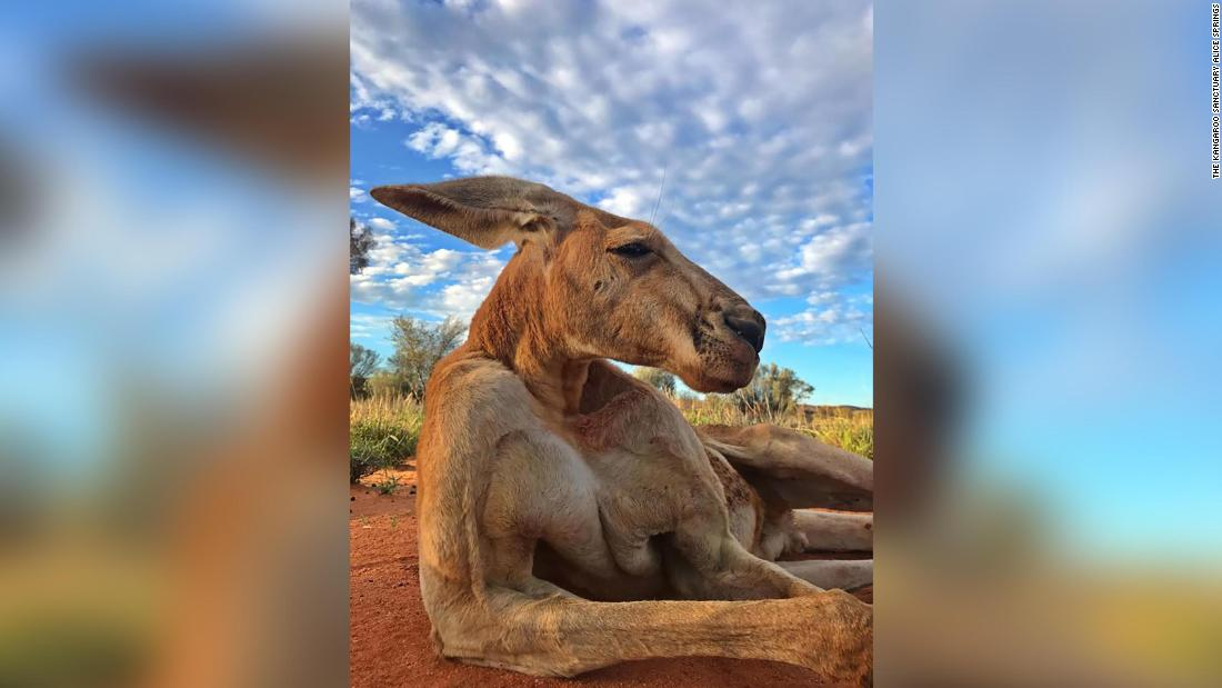 Roger, the ripped kangaroo, has died - CNN Video