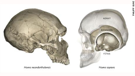 In modern humans the globular endocranial shape emerges soon after birth (just like Neanderthal neonates, modern human babies have elongated braincases and endocrania).​​