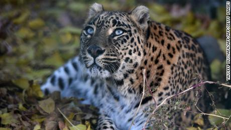 The forest reserve where the monk was attacked is home to leopards (file photo).