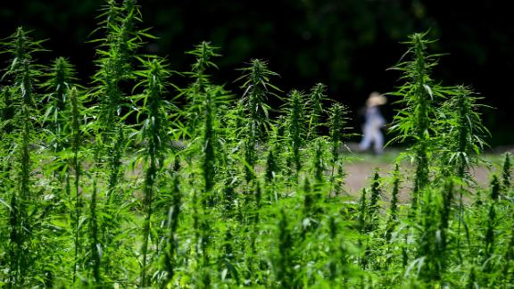 "ALEXANDRIA, VA - JULY 26: Visitors to George Washington's Mount Vernon estate walk past the newest crop, hemp July 26, 2018 in Alexandria, VA.  It looks like the real deal - the seven leaves - the tall stalks - the buds. You just can't smoke it. Despite its resemblance and close relation to pot, it's different. This weed is ""industrial hemp,"" a venerable plant grown in colonial days to make rope and clothes. (Photo by Katherine Frey/The Washington Post via Getty Images)"