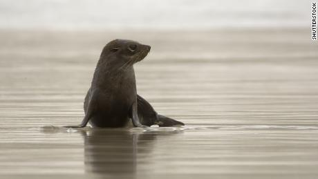 A baby fur seal swimming in a bay in New Zealand (file picture)