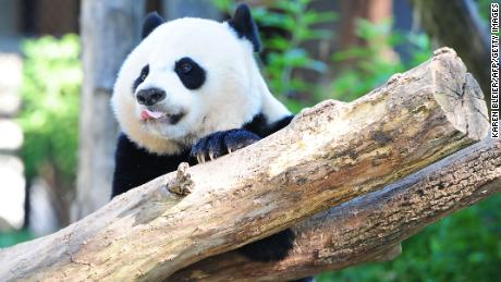 Giant panda Bei Bei plays in his enclosure August 24, 2016 at the National Zoo in Washington, DC. Bei Bei celebrated his first birthday August 20, 2016. He is part of SinoAmerican panda diplomacy and will have to be sent to the People's Republic of China at the age of 4. / AFP / Karen BLEIER        (Photo credit should read KAREN BLEIER/AFP/Getty Images)