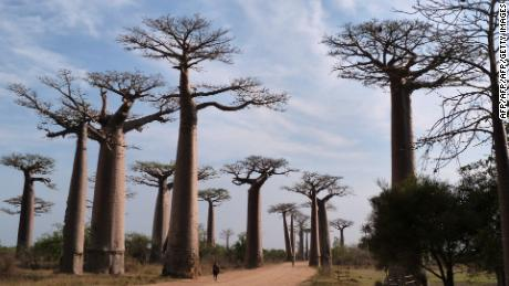 The Oldest Living Organism is Dying in Southern Africa
