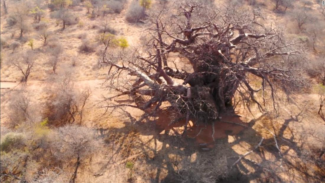 An aerial view of a baobab tree in South Africa. The baobab tree, can live to be 3,000 years old, and can grow as wide as the length of a bus measuring a girth of 53 meters, and a height of 22 meters.