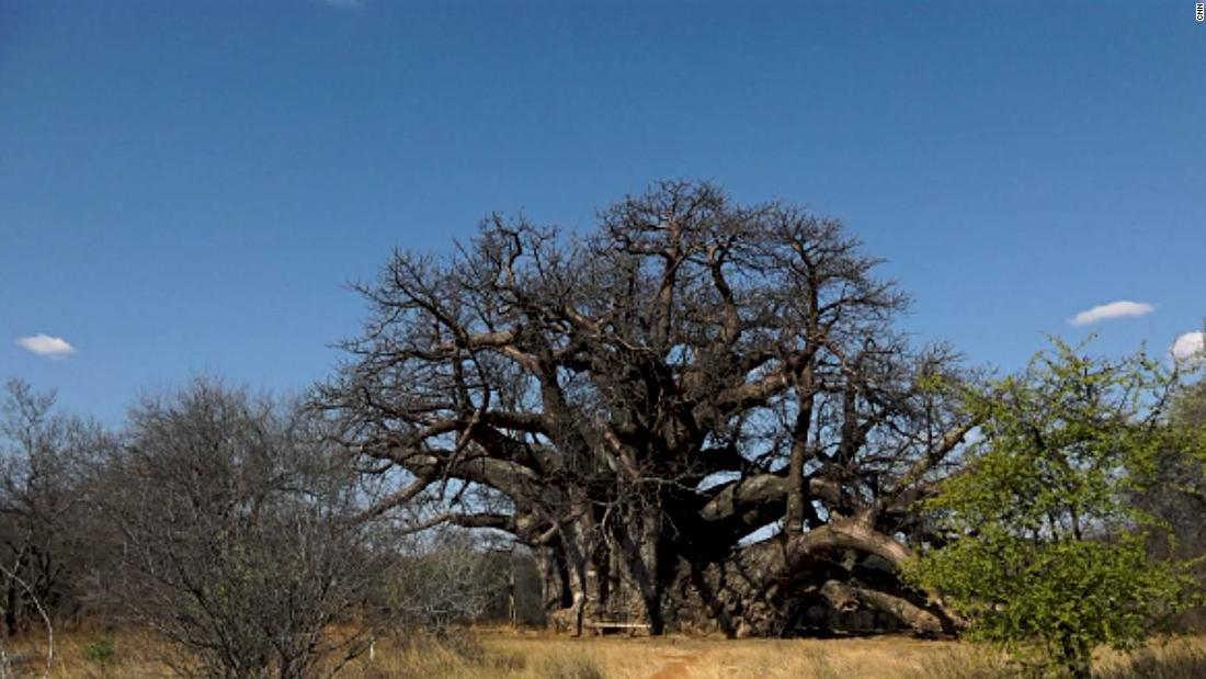"The local Vhavenda or Venda people in South Africa call this mystical giant ""the tree that roars"", after the sound the wind creates when playing between the oddly shaped branches.<br />"