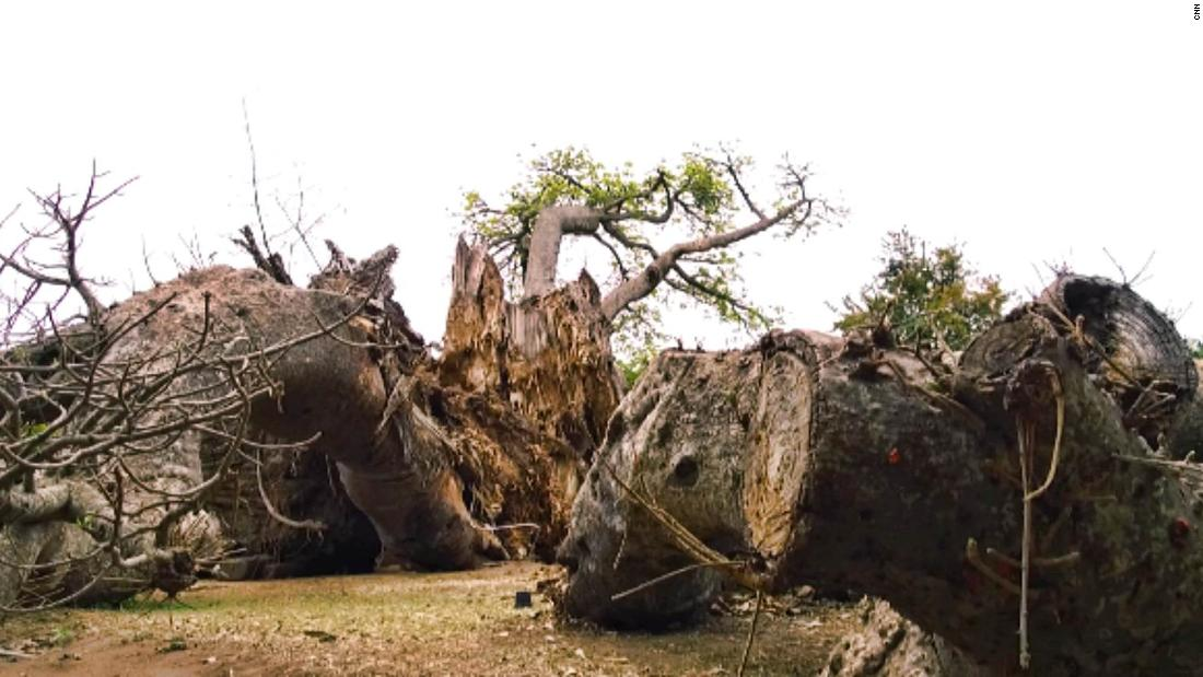 A dying split baobab in Limpopo province, South Africa. Scientists, working independently, have identified potential dangers for both the youngest and oldest trees in its southern-most growing regions.