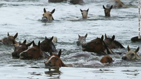 Every July, wild ponies swim across a channel from Assateague to Chincoteague, where foals are sold.