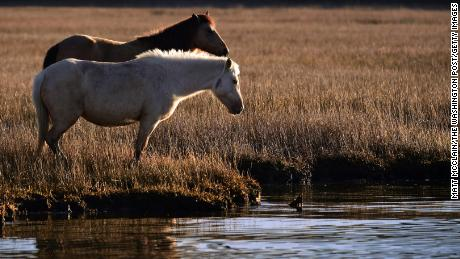 Wild ponies stand at the water's edge last month on Chincoteague National Wildlife Refuge.