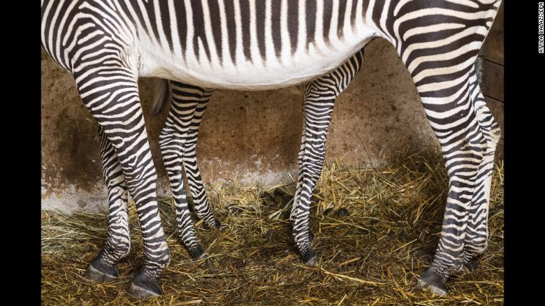 A 3-day-old zebra stands by its mother at an animal park in Nyiregyhaza, Hungary, on Thursday, January 3.